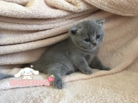 纯种蓝猫出售 疫苗做齐 终身质保签协议