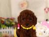 纯种的泰迪犬多少钱
