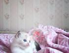 哈尔滨布偶猫多少钱 哈尔滨哪里出售的布偶猫幼犬价格较便宜
