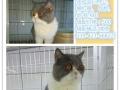 宠物猫、限量借配、银点、无毛、净樊、蓝白、种公限量借配!!!