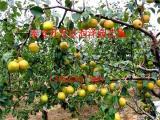 3公分梨树苗批发价格