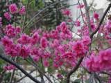 广东地区樱花树八重樱,台湾山樱,吉野垂枝出售