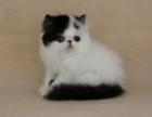 家养纯种一窝波斯猫,大 头模样可爱没时间养故
