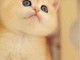 廣東中山純種英短金漸層幼貓怎么賣