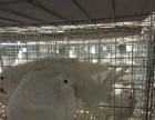 正规大型养鸽场 鸽子出售 养鸽加盟合作 价格优 包回收