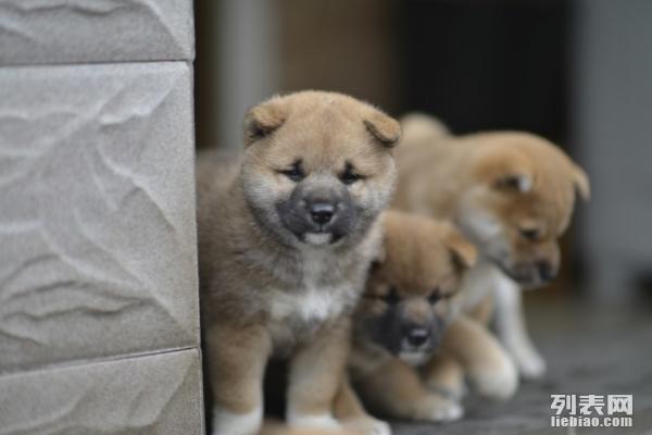 重庆哪里有卖柴犬重庆哪里柴犬价格重庆哪里柴犬多少钱