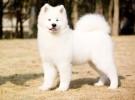 出售纯种萨摩耶 萨摩幼犬 品相纯正 包健康 血统保证