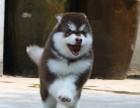 售高品质阿拉斯加犬专业基地繁育雪橇犬签协议