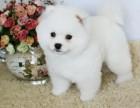 纯种球体博美纯种博美犬幼犬活体长不大茶杯犬白色博美俊介小型犬