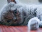 济南哪里出售纯种蓝猫纯种的蓝猫多少钱一只