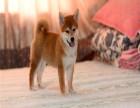 双血柴犬 专业繁殖 可上门挑选 协议质保