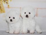 博美幼犬出售 多只可选 纯种健康已打疫苗