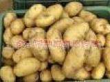 土豆农民专业合作社 玉田县土豆合作社 唐山市土豆蔬菜种植合作社