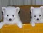 犬舍繁殖 纯种银狐, 品质优 品种赞 让你无可挑剔,包养活