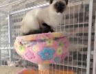 本猫舍全国批发零售各种品种宠物猫宝宝,诚信第一