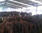 扬州肉牛犊价格多少钱一头西门塔尔牛鲁西黄牛夏洛莱牛
