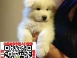 厦门出售纯种萨摩耶幼犬保纯种保健康签协议终身质保
