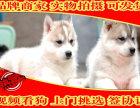 出售拉布拉多 导盲犬拉布拉多 纯种健康有保障