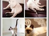优质猫舍出售精暹罗猫全国可以发货送货