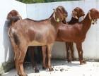 纯种努比亚山羊 黑山羊养殖 生态养殖项目 南方最好的山羊品种