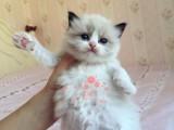 昆明哪里卖布偶猫最便宜多少钱一只 购买包健康多久