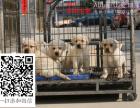 拉布拉多包纯种保健康签协议送上门拉布拉多犬