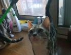 美短加白母美短加白公特价1000 猫咪价格以标题