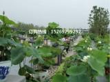 专业盆栽荷花种植 观赏盆栽荷花批发