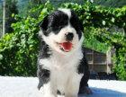 狗市可以买到纯种边境牧羊犬吗 多少钱一只