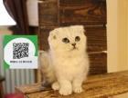 新乡哪里有折耳猫出售 新乡折耳猫价格 新乡宠物猫转让出售