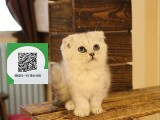 镇江哪里有折耳猫出售 镇江折耳猫价格 镇江宠物猫转让出售