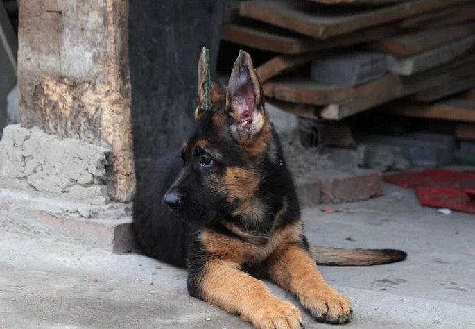 直销纯种黑贝德牧幼犬 保证健康已做完疫苗驱虫图片