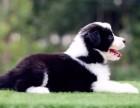 热销优秀七白到位边境牧羊犬 品质高纯度高