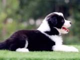 出售高品质边境牧羊犬宝宝.健康有保证.品相绝对好