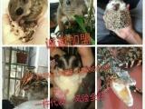 萌宠之家专业出售黄山幼崽魔王幼崽合格鼠,可自提