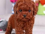 绍兴哪有泰迪犬卖 绍兴泰迪犬价格 绍兴泰迪犬多少钱