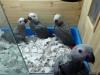 转让灰鹦鹉幼鸟 聪明