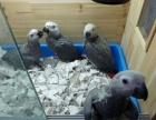 转让灰鹦鹉 金刚鹦鹉 葵花鹦鹉幼鸟 很聪明 会说话的
