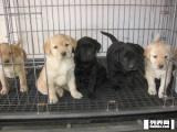 精品拉布拉多 等的有眼缘人 自家繁殖基地长年出售各种幼犬