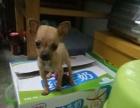 3个月的小鹿犬1500元(母)
