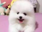 宠乐园犬舍------长不大哈多利球体博美幼犬黄色白色都有