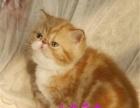 纯种蓝猫猫咪 宠物猫活体蓝猫保健康售后保证
