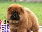 出售高品质松狮幼犬质量三包 可签协议