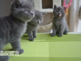 南京猫叔正规猫舍纯种宠物英短蓝猫价格便宜签协议包健康