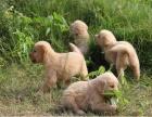 嘉兴出售金毛幼犬嘉兴哪里有卖纯种健康金毛犬包健康