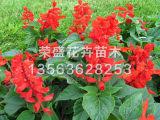青岛一串红_荣盛花卉苗木销量好的一串红供应