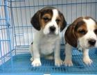 狗市可以买到纯种比格犬吗 多少钱一只