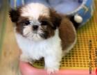 郑州有卖西高地犬的吗