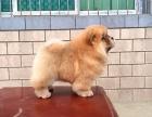 胖乎乎白色松狮 健康保障 签协议 可上门看狗狗