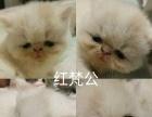 加菲猫繁育,现有4只满月小猫找新家,坐标南京